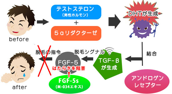 FGF-5Sの効果